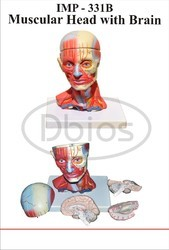 Head Musculature With Brain