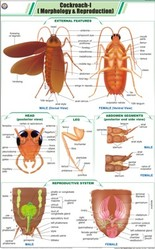 Cockroach I For Zoology Chart