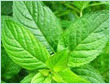 mentha piperita india oil