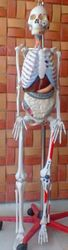 Skeleton with Removable Parts