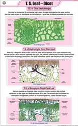 T.S.Leaf - Dicot For Botany Chart