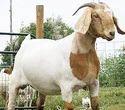 Boer Pet Goat