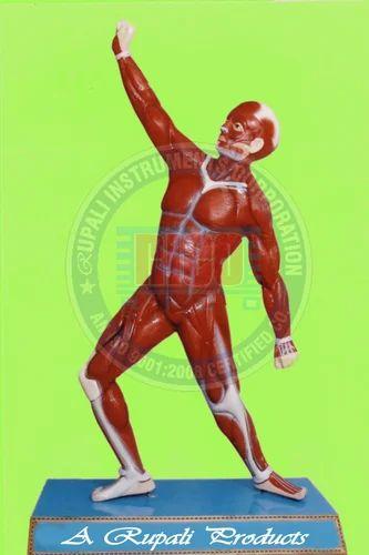 HUMAN ANATOMY MODELS - Muscle Man (Full Size) Manufacturer from Ambala