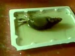 glue traps for rodents