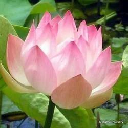 Lotus Aquatic Pool Plants
