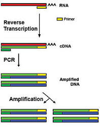Total RNA Extraction and RT-PCR Teaching Kit