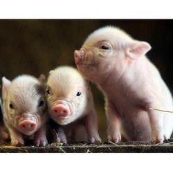 Pre Starter Piglet Feed