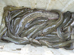 Seafood Oily Fish