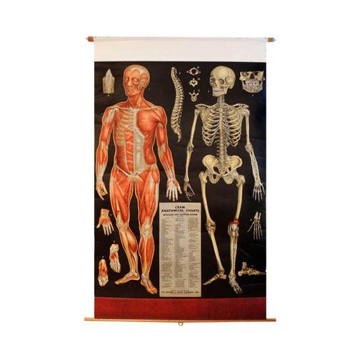 Human Anatomy Charts Wholesale Price Mandi Rate For Human