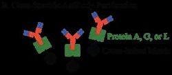 Ion Exchange Chromatography (Antibody Purification)