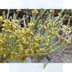 Somlata Herb / Ephedra Vulgaris