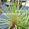 Cordyline Australis Autumn Medicated Plants