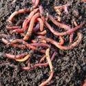 Best Quality Live Earthworms