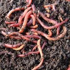 Live Earthworms Vermicompost