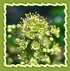 toothache tree seeds