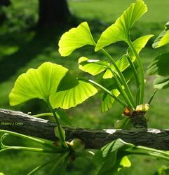 Gingko Biloba Extracts