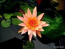 Orange Water Lily Pool Plants