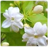 Jasmine Oil (Jasmine Grandiflorum Absolute)