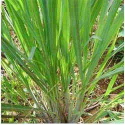 Gingergrass Oil