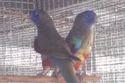 Australian Parakeet...
