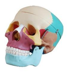 Life Size Colored Skull Models
