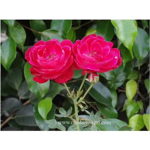 Shrub plants indian rose plant exporter from anand - Planting rose shrub step ...