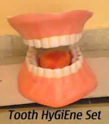 Human Tooth Model