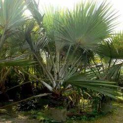 latania palm