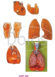 Heart with Lung & Larynx