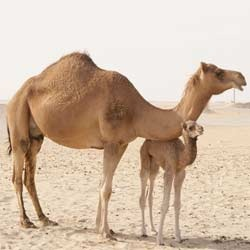 Breeding Camel Feed