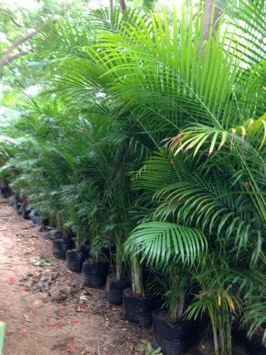 erica palm tree