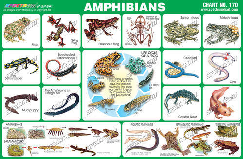 What are 5 types of amphibians  Answerscom