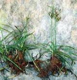 Nut+Grass%28Cyperus+rotundus%29
