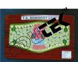 Monocot Leaf TS