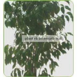 Ficus Mini Lucy