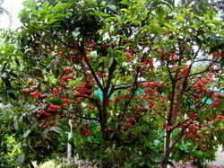 Thai Water Apple Fruit Plants
