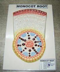Monocot Root Model