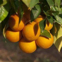 S Orange Oil