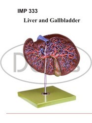 Liver with Gall Bladder Model