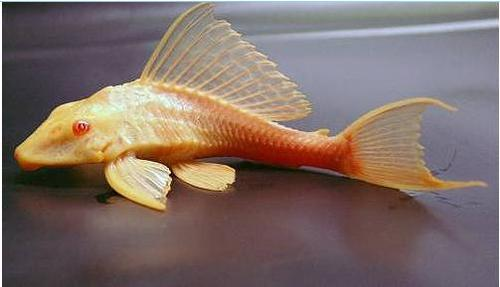 1000 images about plecos and other suckermouths on for Freshwater sucker fish