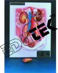 Human Urinary Organs