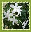 Jasmine Flower, Catalonian Jasmine