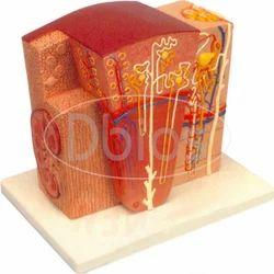 Histology Models