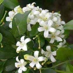 jasmine grandiflorum abs