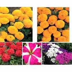 flower seeds like syngenta flowers benary seeds