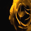 Yellow Rose Wallpaper