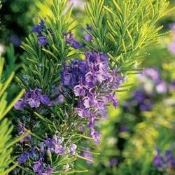 Organic Rosemary Oleoresin