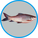 Rohu Fish Seeds