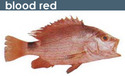 Blood Red Fish