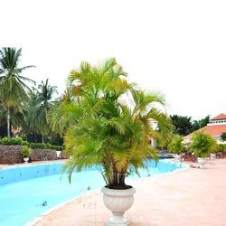 Arica Palms